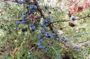Navadni brin (Juniperus communis)