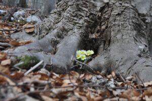 Navadna trobentica (Primula vulgaris)