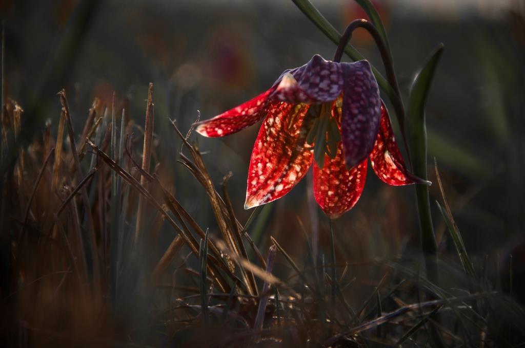 Močvirska logarica (Frittilaria meleagris)